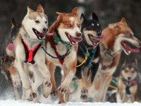 Iditarod trails sled dog race - the dogs