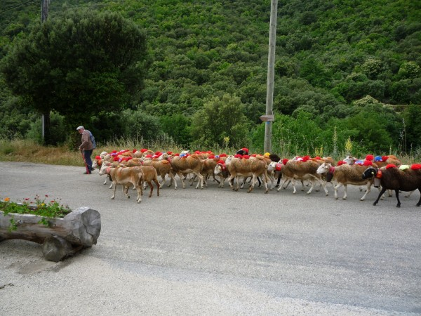 Sheep led to the mountains for Transhumance