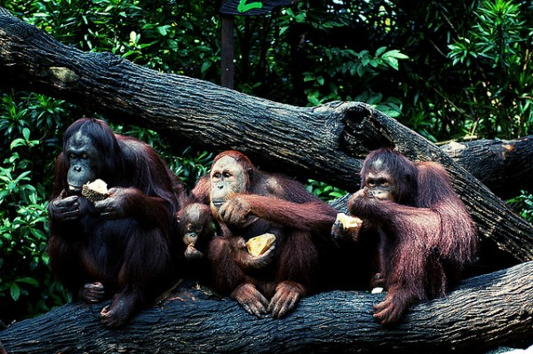 Orangutan family in the Singapore Zoo